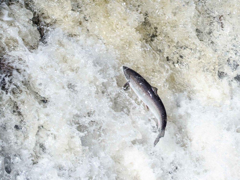 Leaping_Salmon_Big_East_River-2.jpg