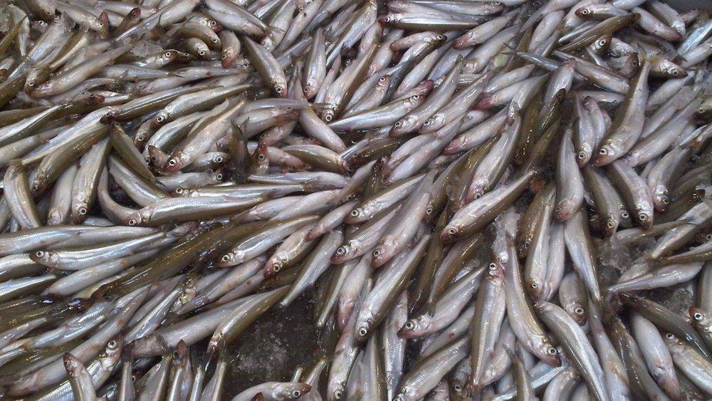 Rainbow-Smelt-Great-Lakes-Fish-Company-1920x1080.jpg