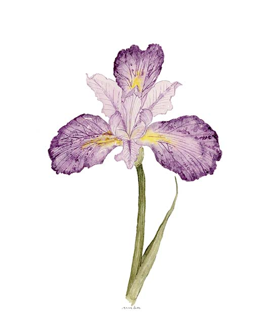 february iris LR.jpg
