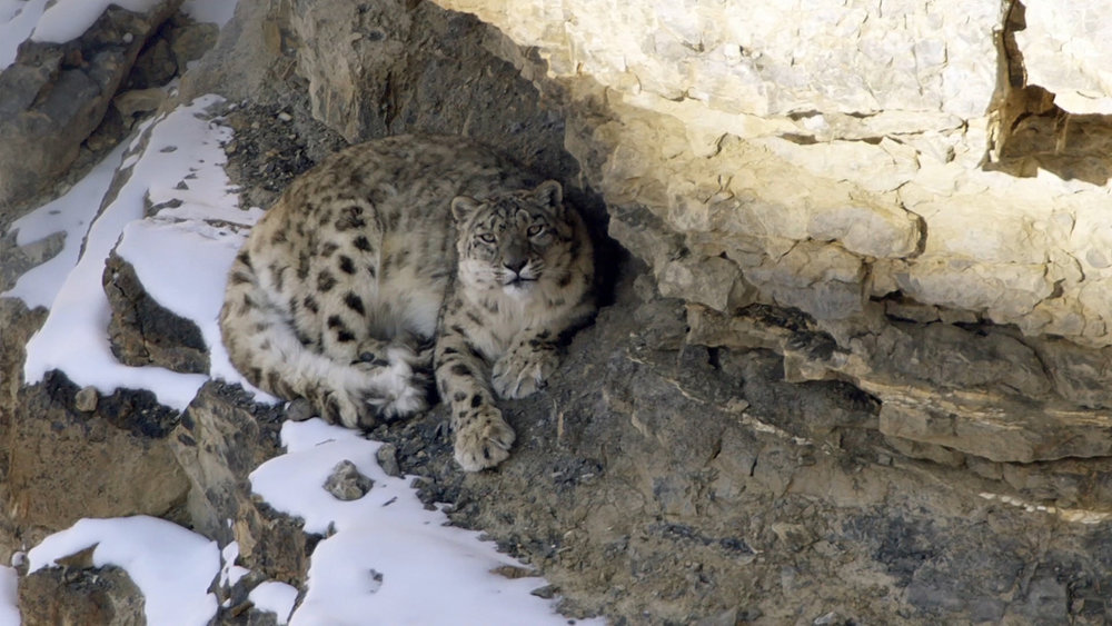 Snow-Leopard-screen-grab.jpg