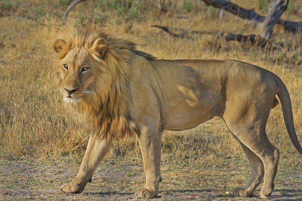 africa-animal-botswana-47036.jpg