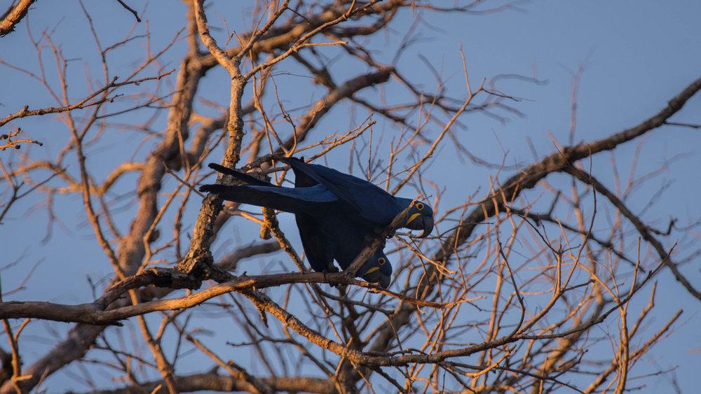 PN_SerraBodoquena-fauna-ArarasAzuis-Autor_MarcoSarti.jpg