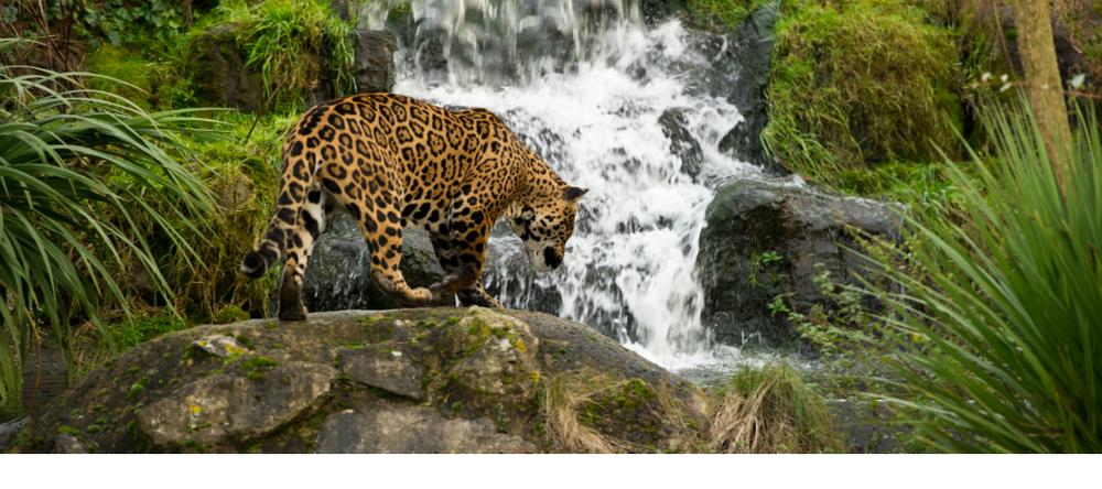 reduced jaguar banner.png
