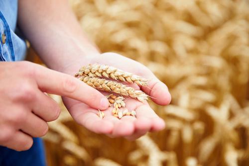 kentucky wheat facts kentucky small grain growers association
