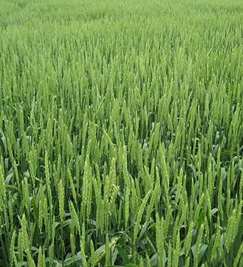 greenwheat.jpg