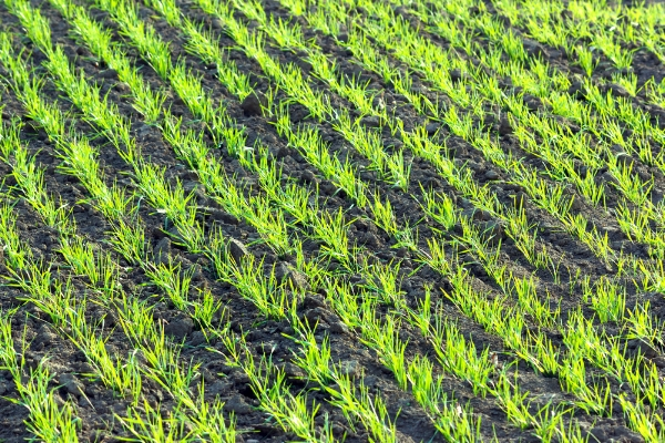 planting wheat.jpg
