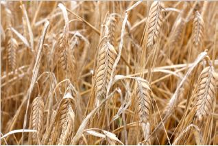 barley in feed-malt.JPG