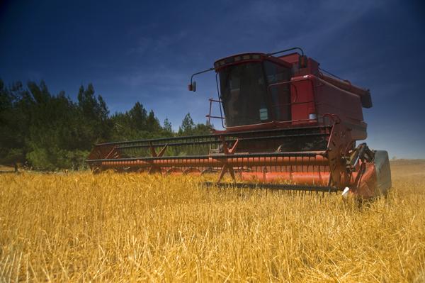 wheat harvest 2-sm.jpg