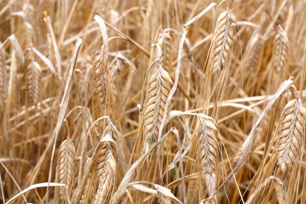 barley.jpg