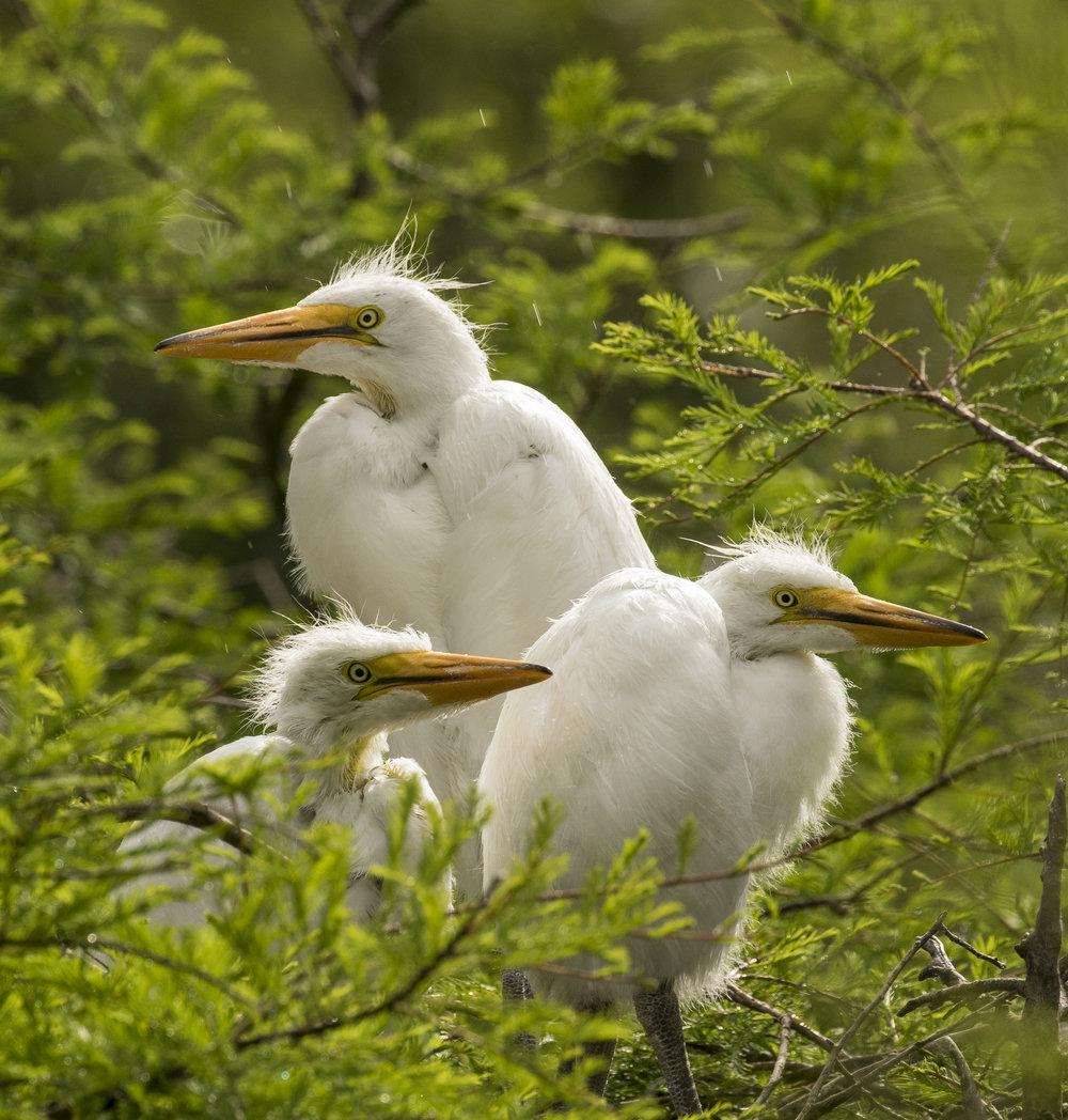 American egret chicks_QX8A0109.jpg
