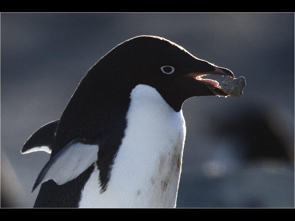 Adelie penguin building nest.jpg