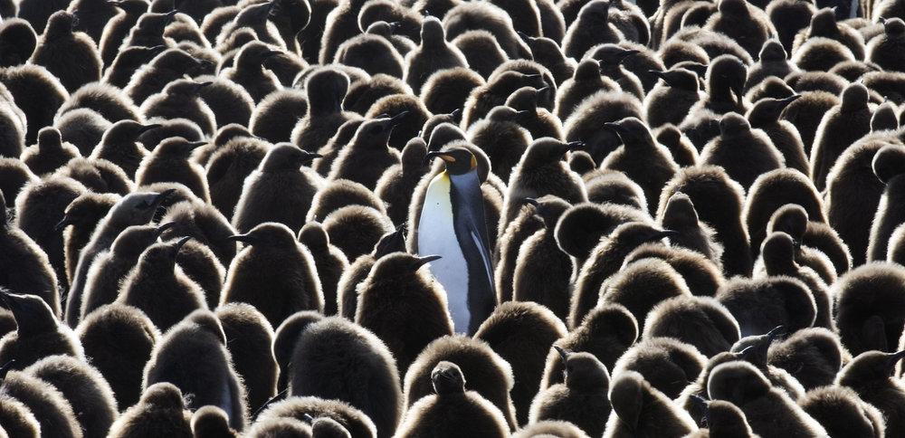 King Penguin Cresh.jpg