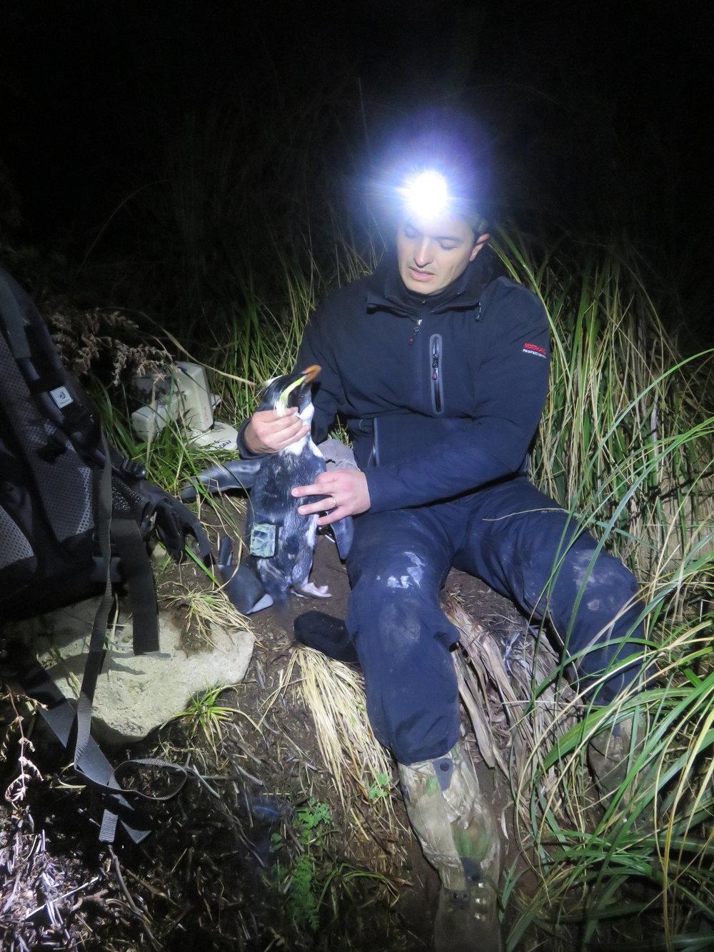 2014 Campo con pinguinos en Nueva Zelanda.JPG