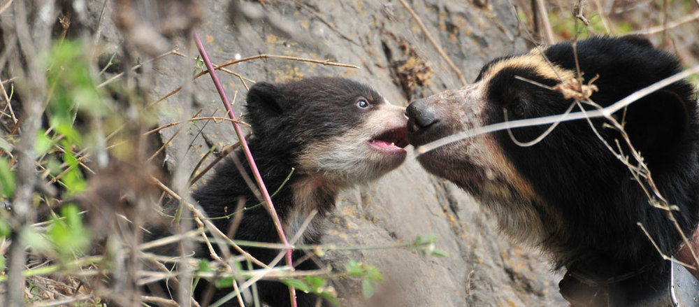 Spectacled Bear Conservation Society -