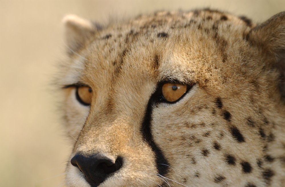 Cheetah Conservation Botswana -