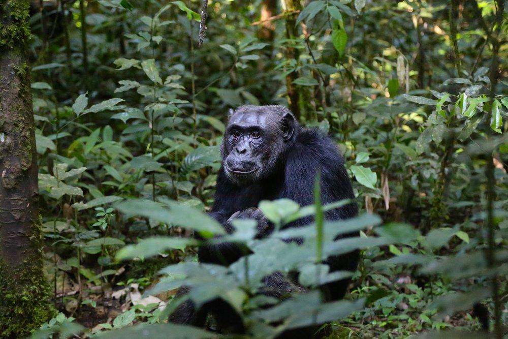 chimpanzee-uganda-monkey.jpg