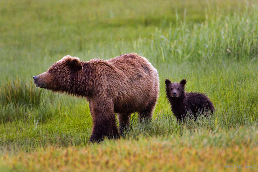 OF9B9790 Brown Bear _ Cub copy_watermark.png