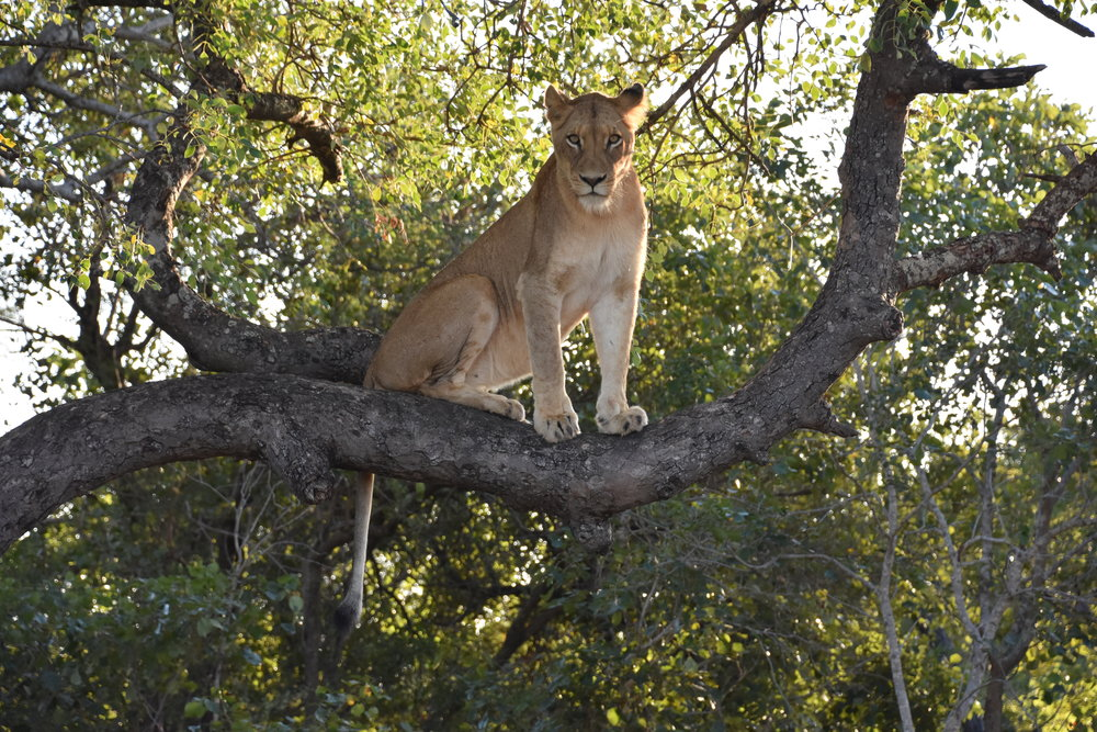 Ashley Bay - Africa HEADER option - Lion in Tree staring at us.JPG