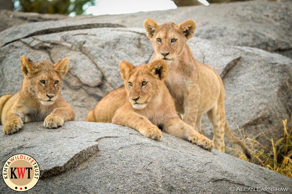Lion Cubs - Maasai Mara.jpg