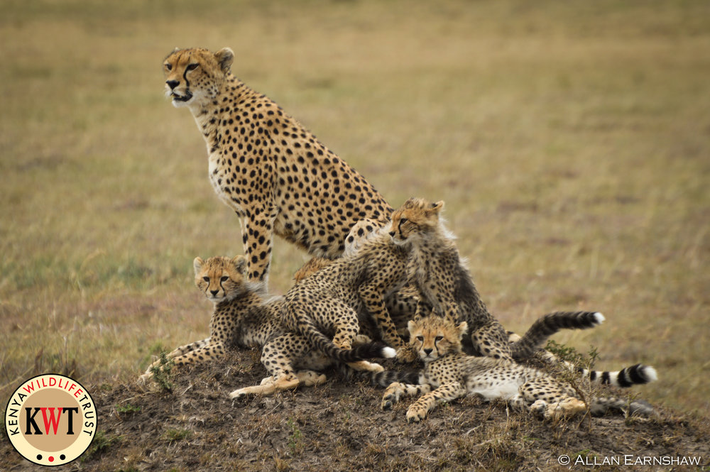 Mara Cheetahs.jpg