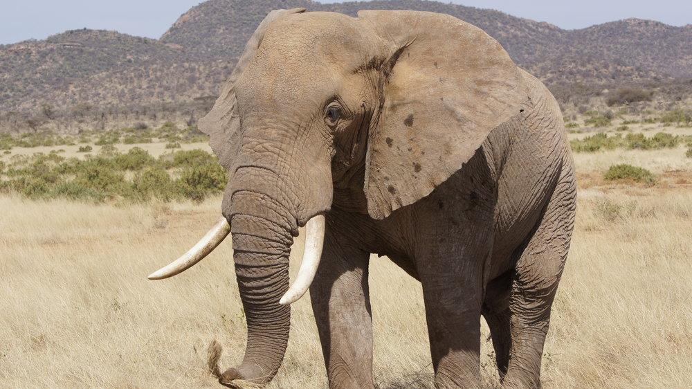 Randy Mazzuca - Elephant- WCN (4).JPG