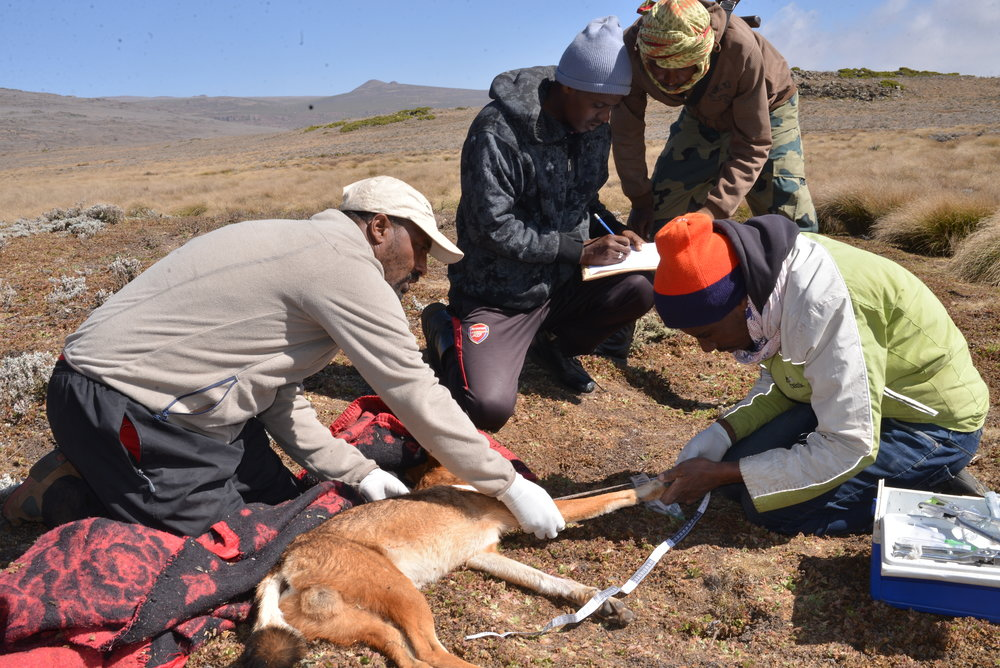 Randy Mazzuca - Ethiopian Wolf Conservation Program, Eric Bedin.JPG