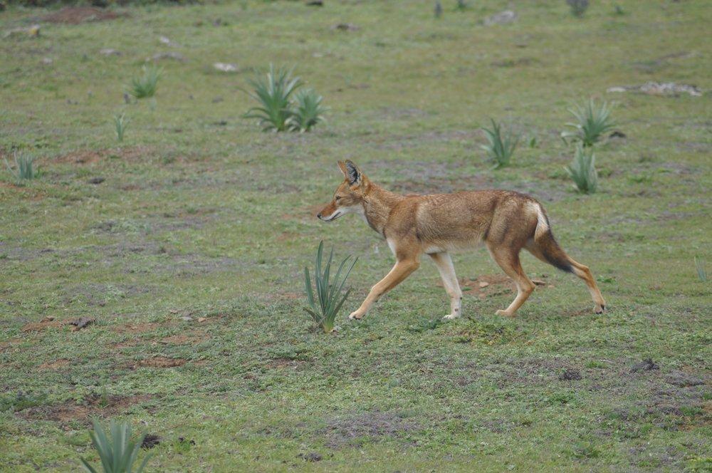 Randy Mazzuca - Ethiopian Wolf- WCN (2).jpg