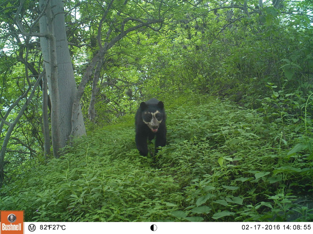 Bear in the Laquipampa Wildlife Refuge.JPG
