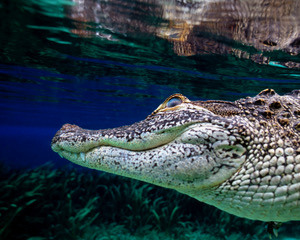 Alligator 8x10  copy.jpeg