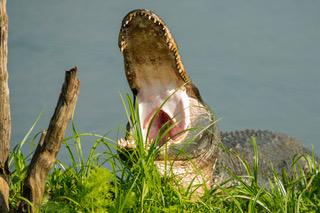 Alligator_yawn_0906.jpeg