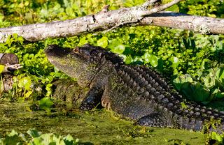 Alligators 0896.jpeg