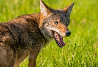 Coyote_1850.jpeg