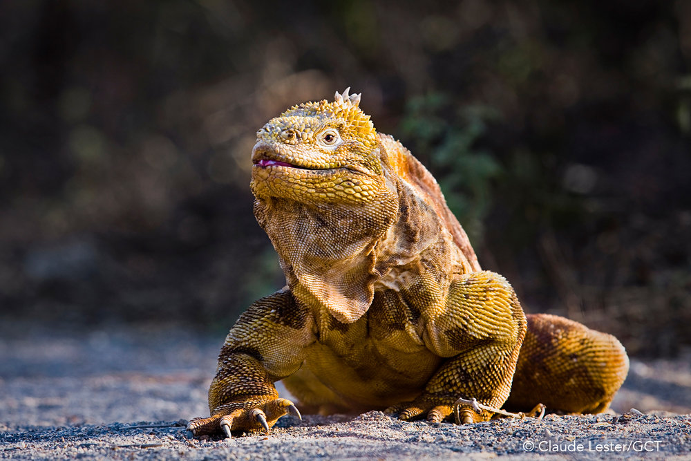 Galapagos Conservation Trust  - Land Iguana - Claude Lester.jpg
