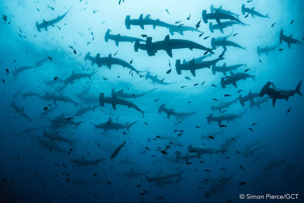 Galapagos Conservation Trust  - Scalloped hammerhead - Simon Pierce.jpg