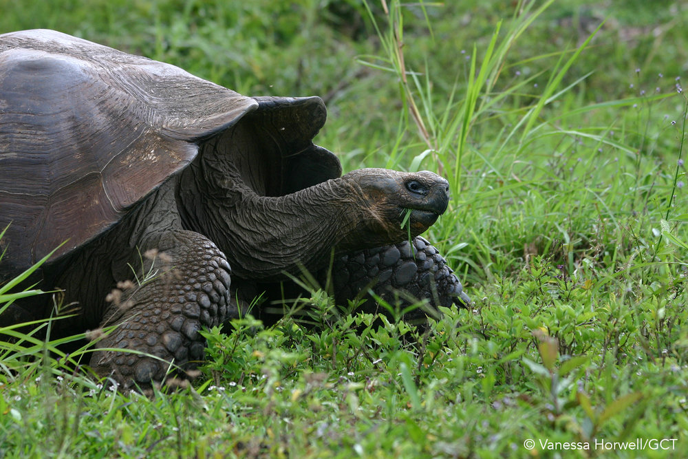 Galapagos Conservation Trust  - Galapagos giant tortoise - Vanessa Horwell.jpg