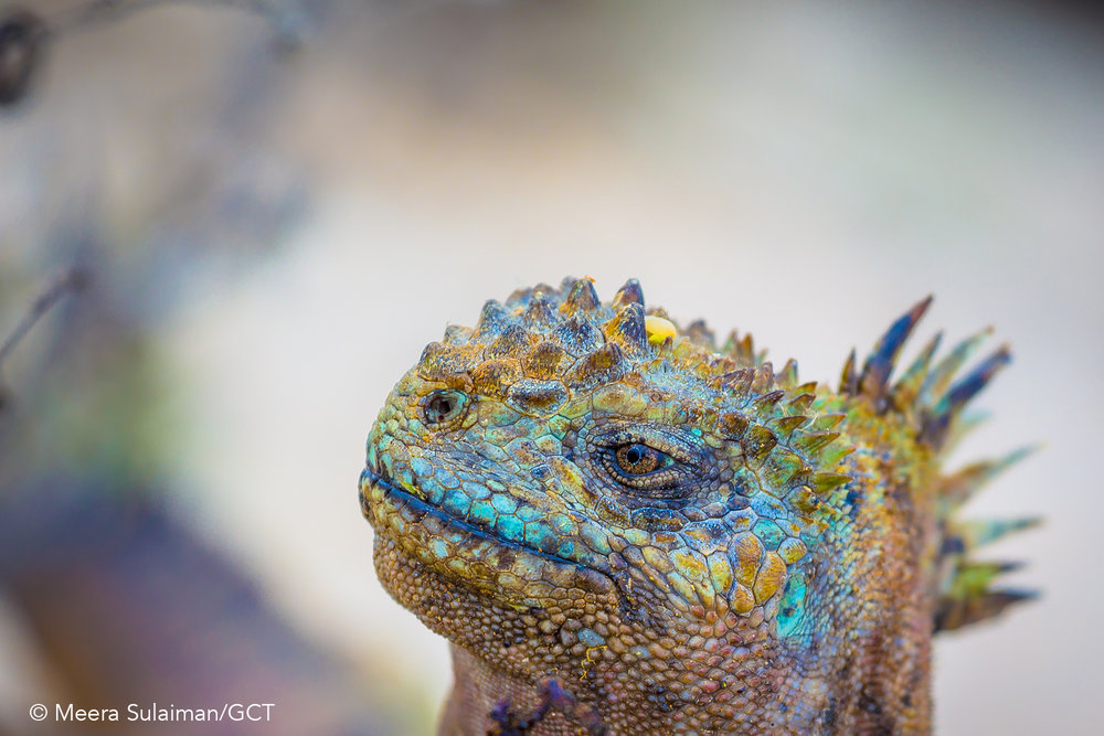 Galapagos Conservation Trust  - Marine Iguana - Meera Sulaiman.jpg