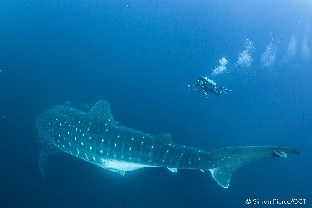 Galapagos Conservation Trust  - Whale Shark - Simon Pierce.jpg