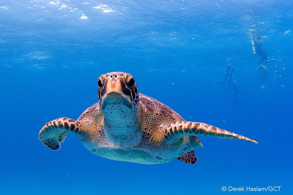 Galapagos Conservation Trust  - Turtle - Derek Haslam.jpg