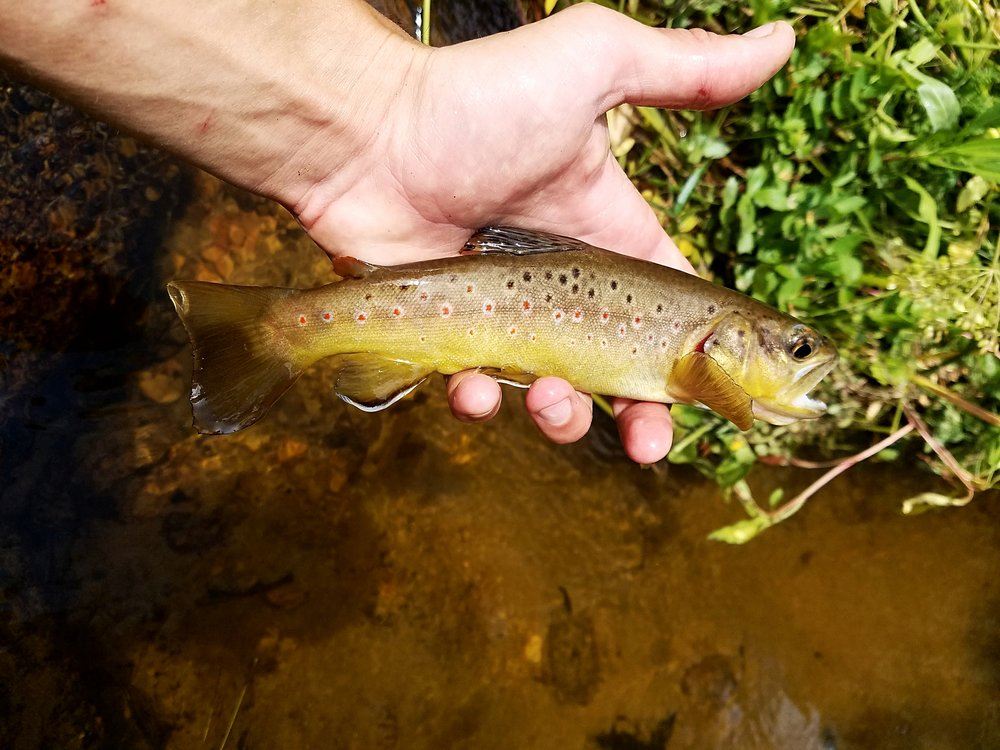 Wild browns in gold country