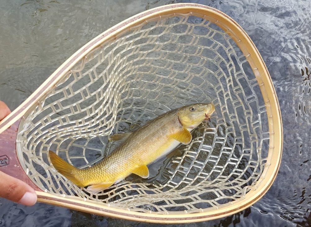 Celine B sight fishing for Sacramento Suckers