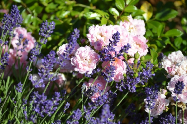 Lavender (Lavandula sp) and Rose (Rosa sp) growing side-by-side, collaborating in an uplifting olfactory experience