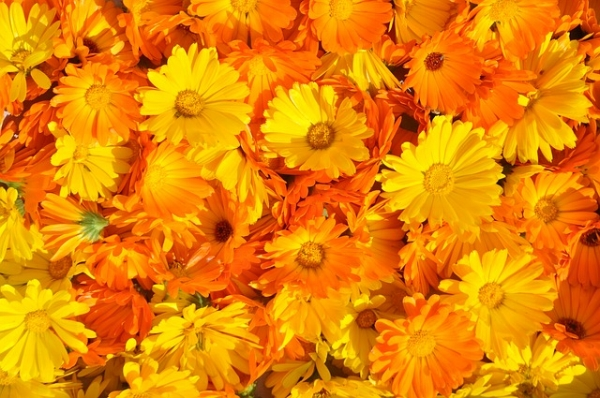 Abundant calendula (Calendula officinalis) with many healing properties