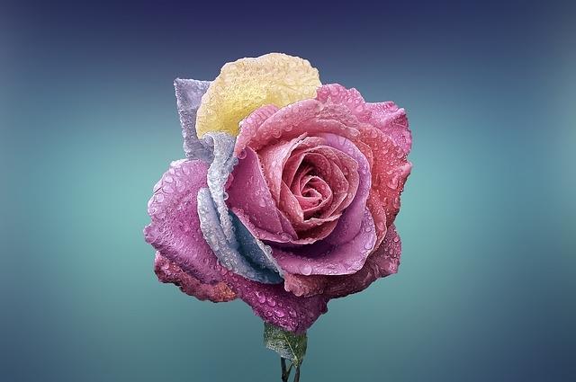 rose-729509_640.jpg