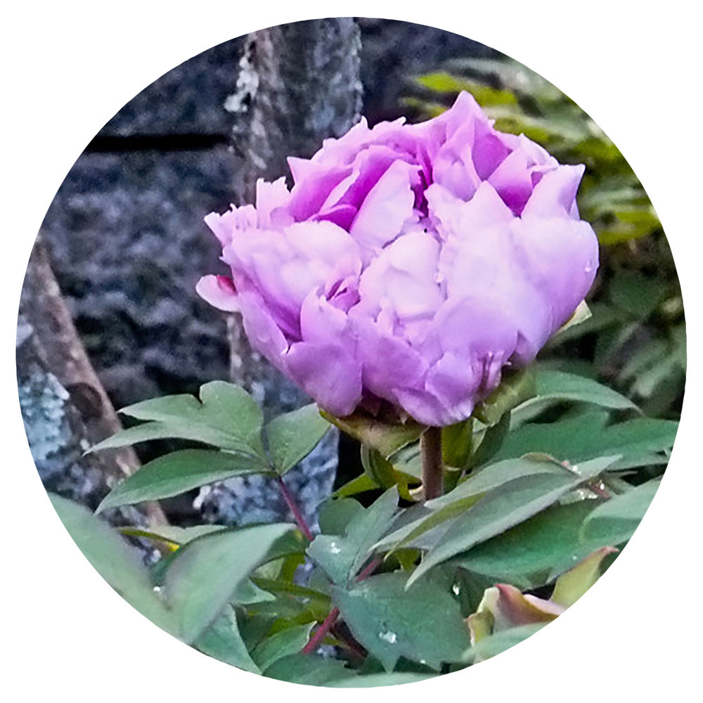 Peony Celebration - May