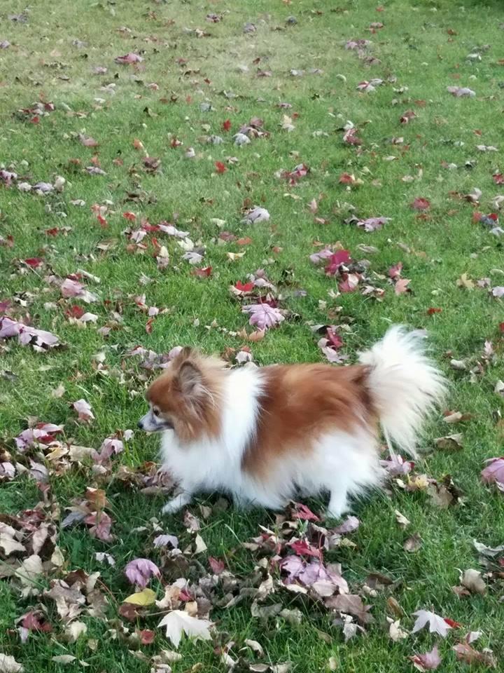 happy dog running leafs.jpg