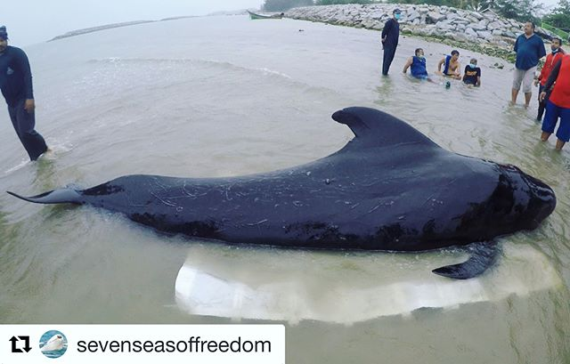 Perhaps by now you've already heard the news about the whale that died with 80 bags in its stomach. But for those who have not, a short-finned pilot whale was found in one of Thailand's canals on May 28. Attempts were made to nurse the animal back to health as it was unable to swim on its own. Two boats were used to float the whale and erect cover to shade it from the sun. Caretakers were with the animal 24 hours per day. Despite these well-intentioned efforts, four days later the whale convulsed, regurgitated four plastic bags, and died. Swipe to the left and you will see the plastic bags found in the animal's stomach. A total of 8kg (18lbs) was swallowed by this whale and caused obstruction. . This is unfortunately the state of our oceans. They are becoming more and more heavily polluted by human garbage that stubbornly refuse to disappear. Did you know it can take some plastic items over 1000 years to break down and, even so, they will remain in tiny bits? It's just not worth it. Single-use disposables are absolutely unnecessary in this day and age when we as humans have so very many alternatives: fabric bags over plastic, metal or glass straws/bottles over plastic, reusable or compostable containers over takeout/styrofoam boxes, utensil travel sets over plastic disposables, and the list goes on. There is #NoExcuseForSingleUse. Please do your part by adopting ocean-friendly practices so that the ingestion of trash by our fellow marine life will be a thing of the past. . #Repost @sevenseasoffreedom . Caption: @sevenseasoffreedom Images: ThaiWhales