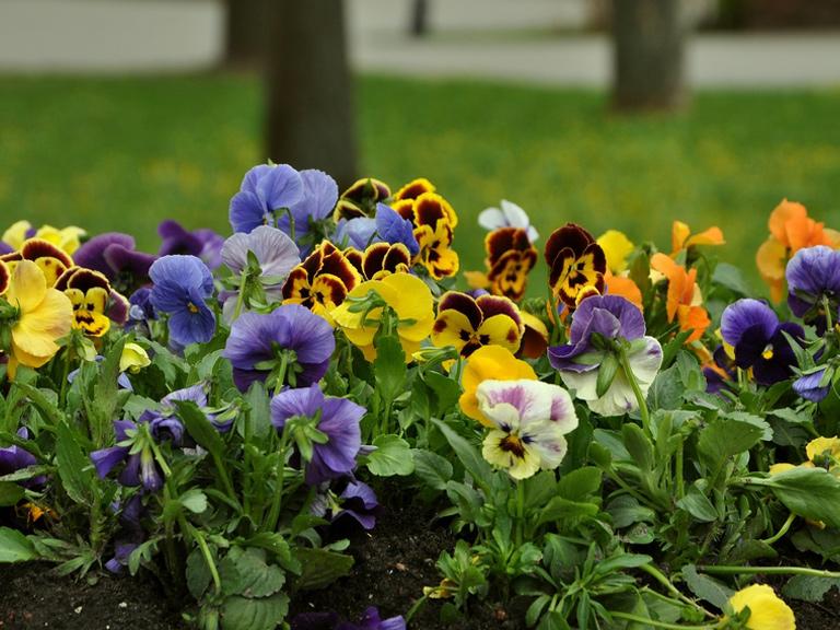 winter-bedding-plants-pansies-514927459-768.jpg