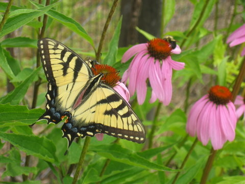 Echinacea with friend