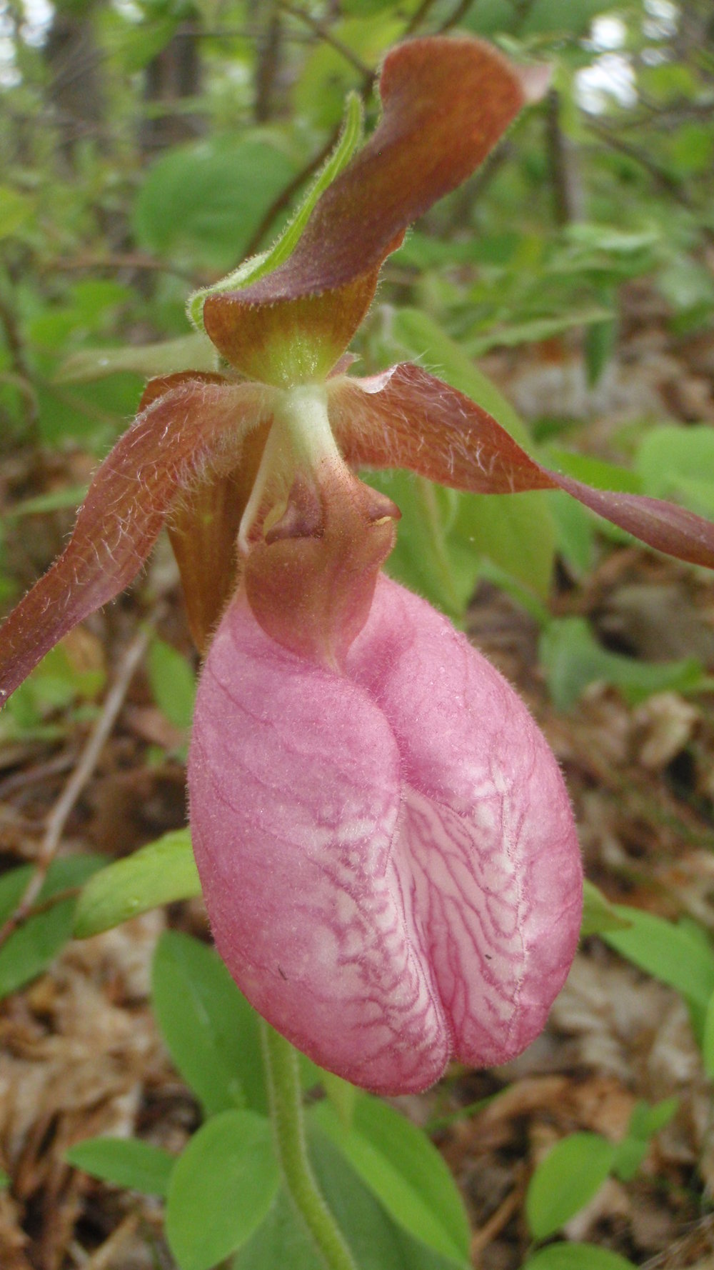 Moccasin flower (pink lady's slipper)