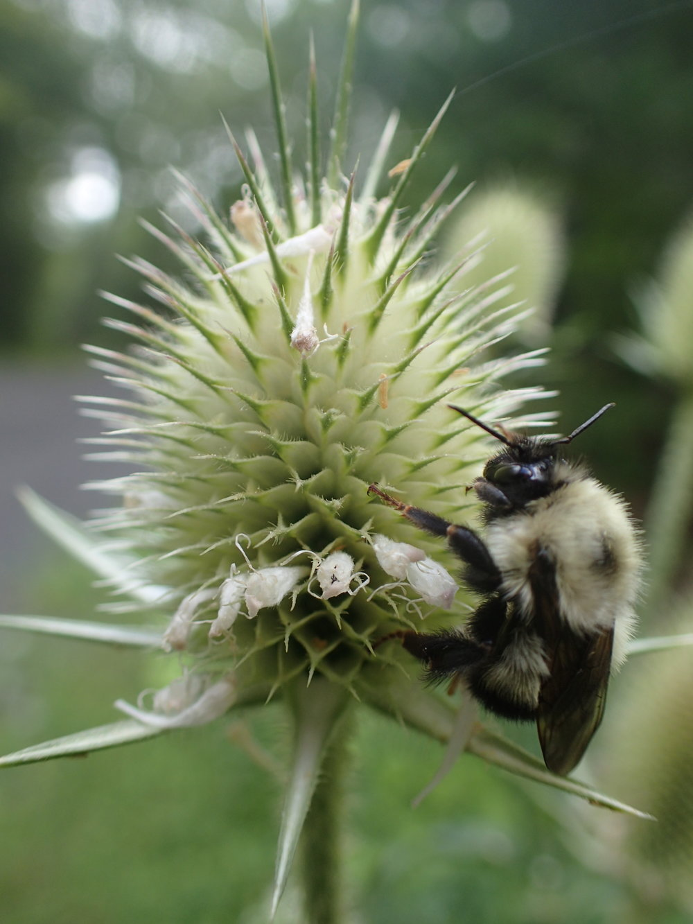 Teasel with friend